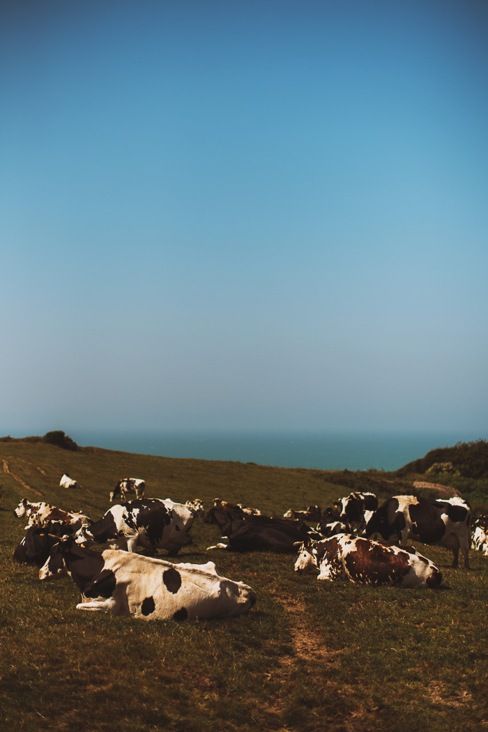 french countryside cows 21
